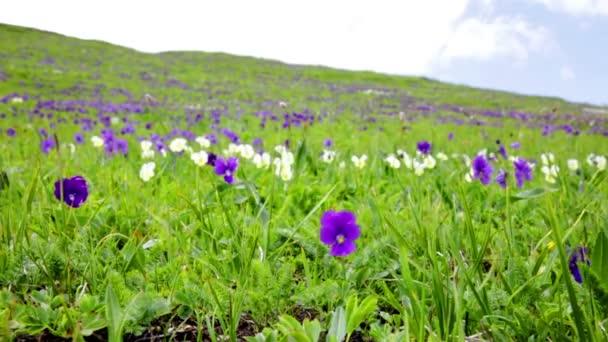 Hegyi Ibolya virágok