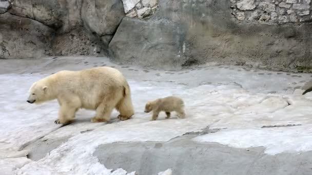 Bílý lední medvěd s dítětem