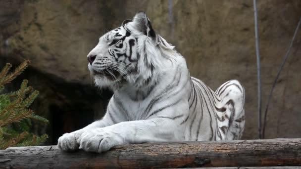 fehér tigris az állatkertben