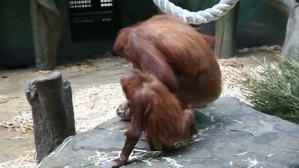 Orang-utan monkey with baby
