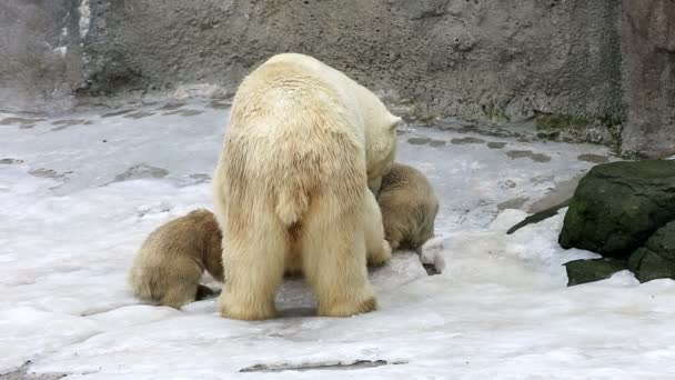 White polar bear with babies