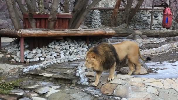 Lion walking in zoo