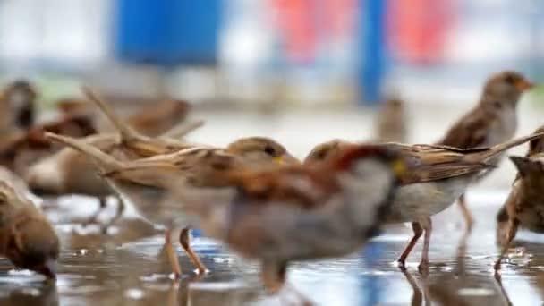 Hejno vrabců, stravování
