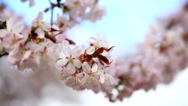 růžový Třešňové květy