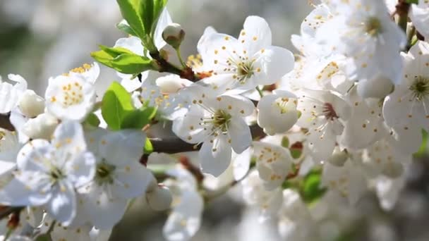 Fehér cseresznye virágok virága