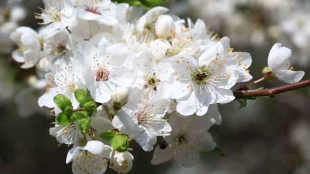 White cherry flowers blossom