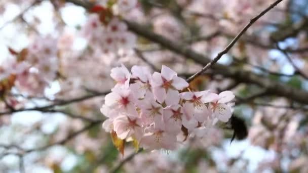 Čmelák na růžové třešně kvete