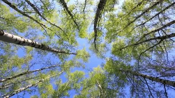 Lesní stromy na modré obloze