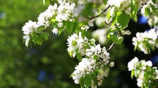kvetoucí ovocné stromy