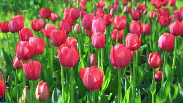 Červené tulipány kymácí ve větru