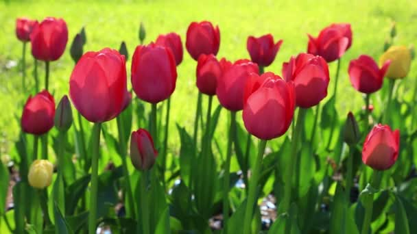 A szélben imbolygó vörös Tulipánokkal