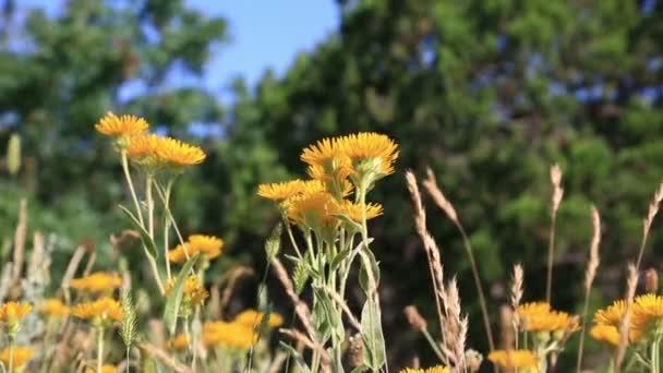 Kvetoucí Pampeliška pole