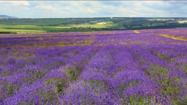 violet field of lavander