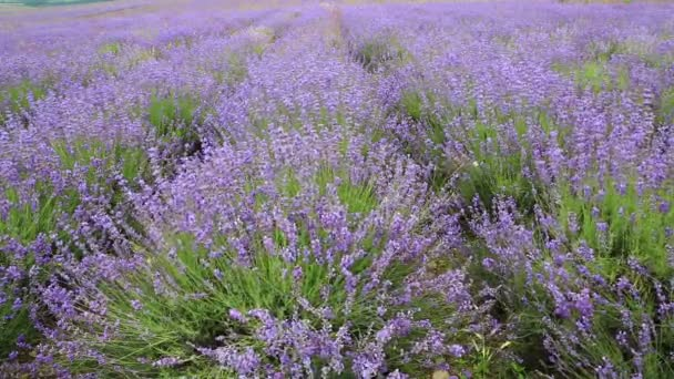 Lavendelblüten auf dem Feld