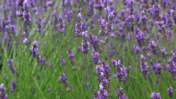 Lavender květiny na hřišti