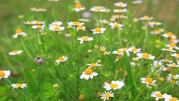 Chamomile flowers in the garden
