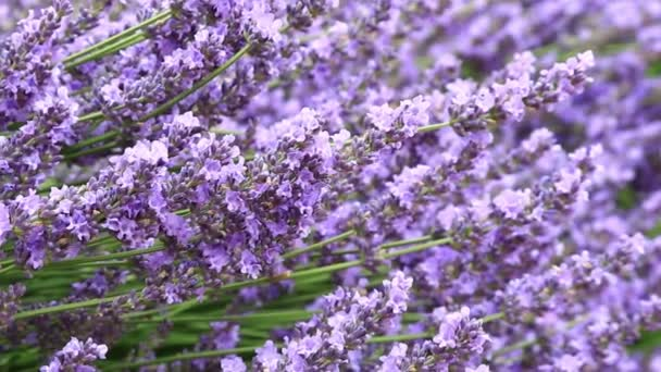 lavender flowers on the field