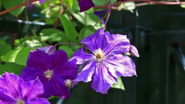 plamének purpurové květy