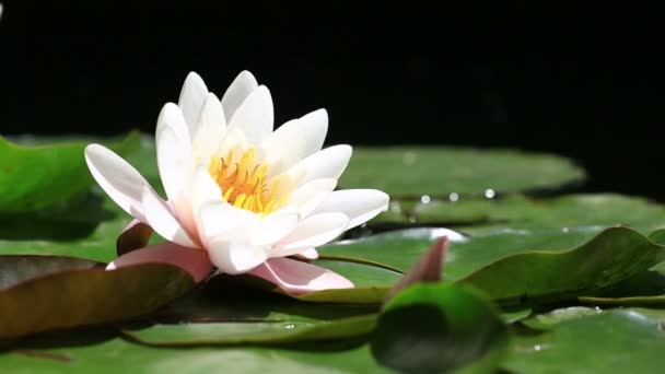 Lotus Flower Stock Videos Royalty Free Lotus Flower Footages