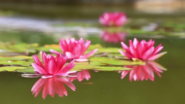 rózsaszín tavirózsa