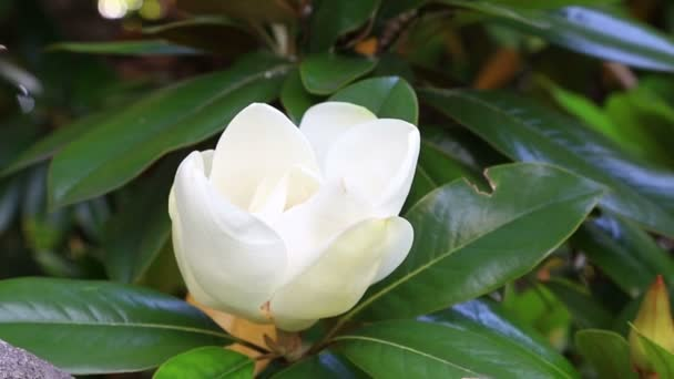 Větev s květem bílá Magnolia