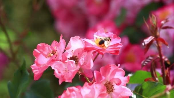 mézelő méh virágport gyűjt