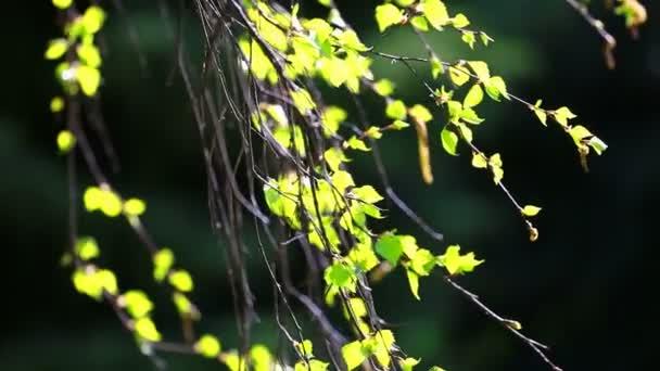 Březové větve se světle zelenými listy