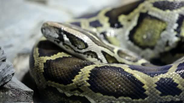 Reticulated python close up