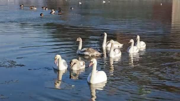 Bílé labutě plovoucí v parku jezera