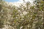 Photo Olive tree