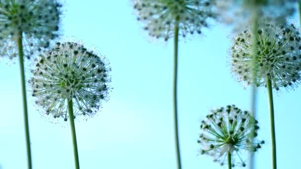Krásné květiny bílé Allium