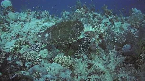 Hawksbill Turtle on a coral reef