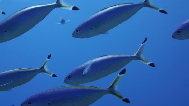 Hejno ryb mušketýr