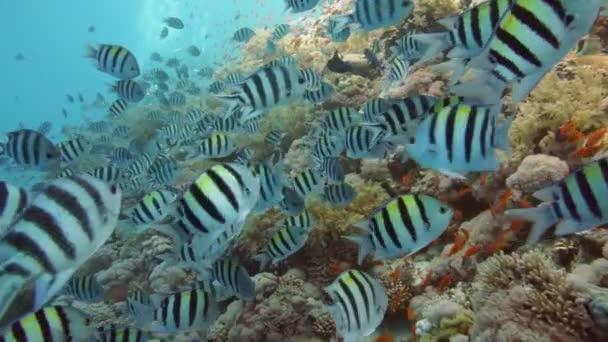 Indo-Pacific seržanti ryba