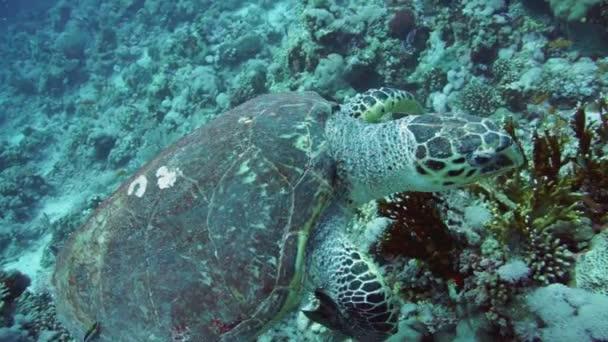 Hawksbill Turtle  in  Red Sea,