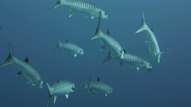 Barrakudák, kék víz a Vörös-tenger,