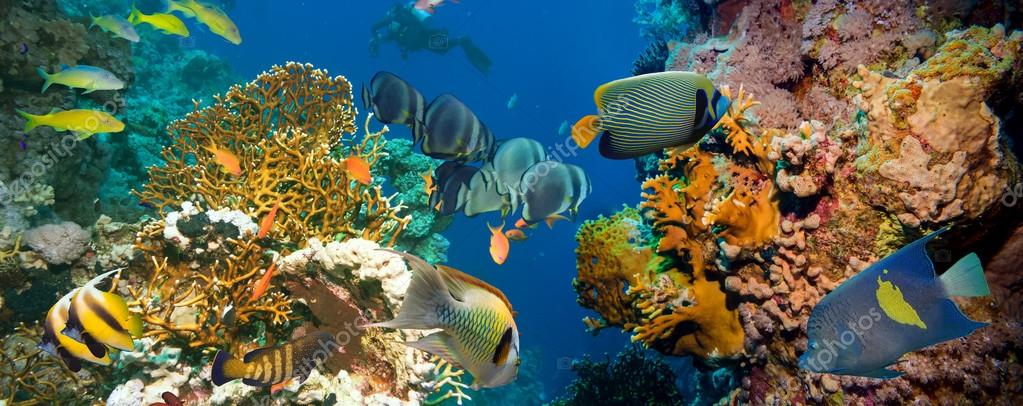 Tropical Anthias fish with corals