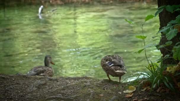 kachny na Plitvická jezera v Chorvatsku.