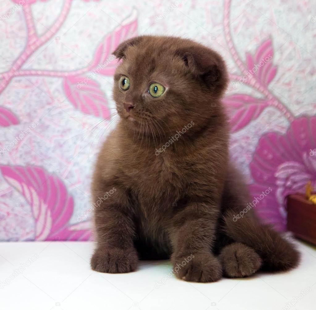 Kot Szkocki Zwisłouchy Zdjęcie Stockowe Artlosk 106669154