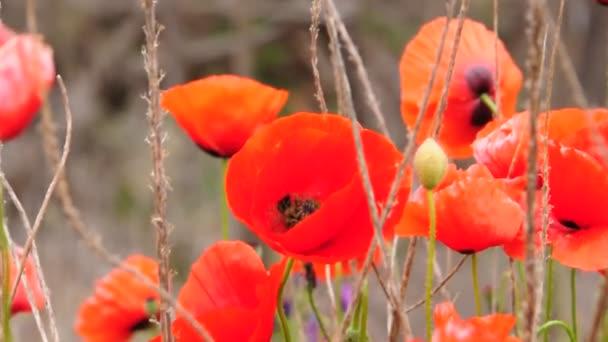Piros Pipacsok a mező, a virágok a rét