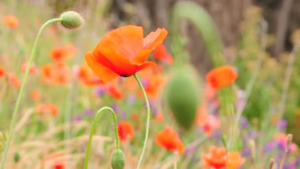 Field of blossoming poppies. Blossoming poppies.