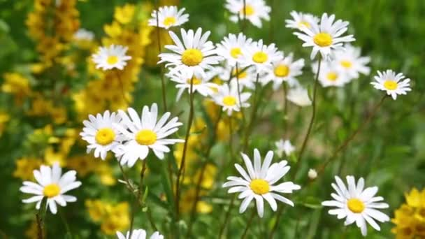 daisies swaying in wind