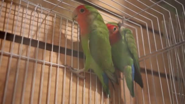 dva zelených papoušků
