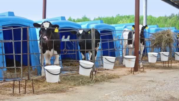 Strakaté telata stojí v paddocku na mléčné farmě