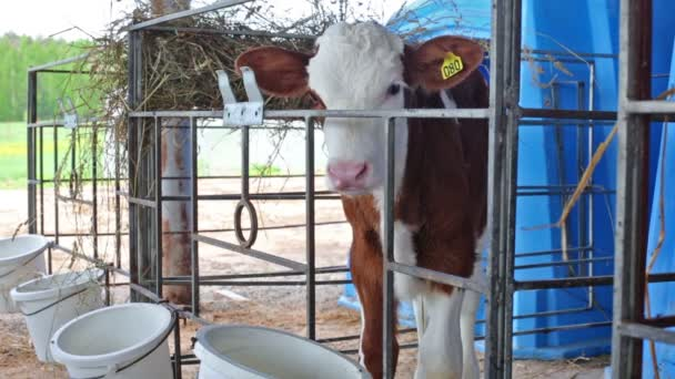 Red and white calf is standing in paddock at dairy farm.