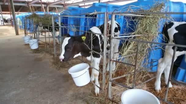 Černá a bílá telata jsou stojící v paddocku na mléčné farmě