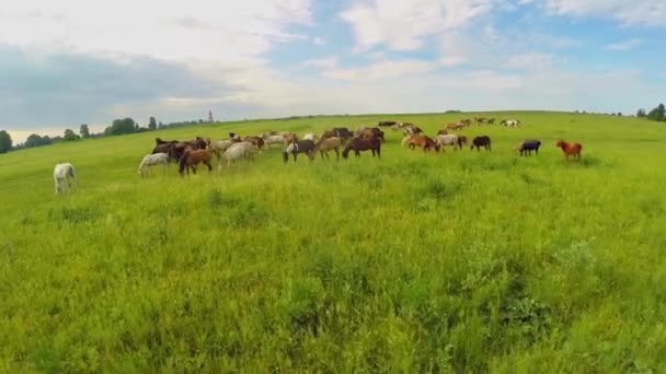 Horse herd pasture on grass field at summer day. Aerial view