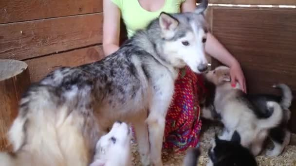 Beautiful woman plays with husky puppies