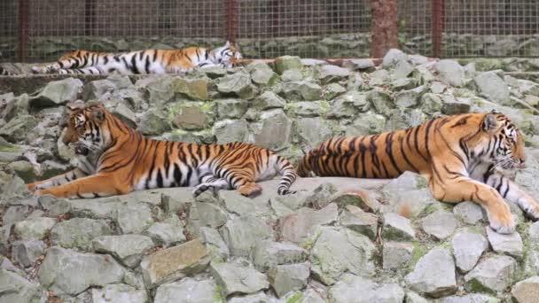 Tři tygři relaxační kameny