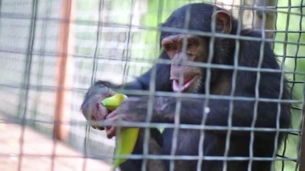Monkey eating green banana in cage